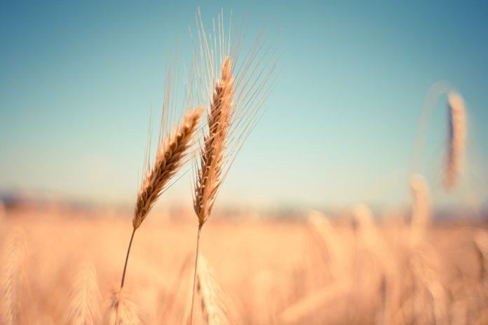 خطة التأمين على المحاصيل
